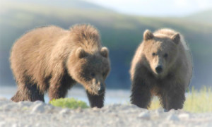 booking a bear viewing charter in alaska