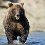 bear running toward water
